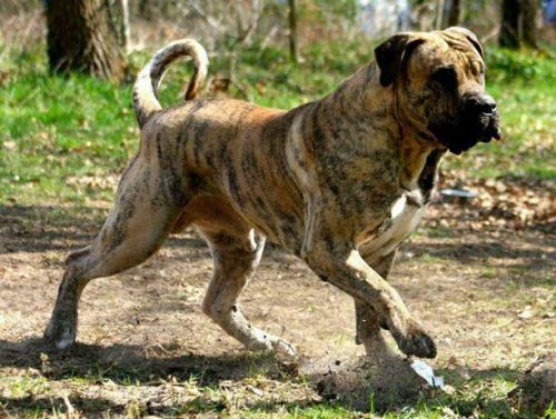 Dogo Canario Dog Bite Force