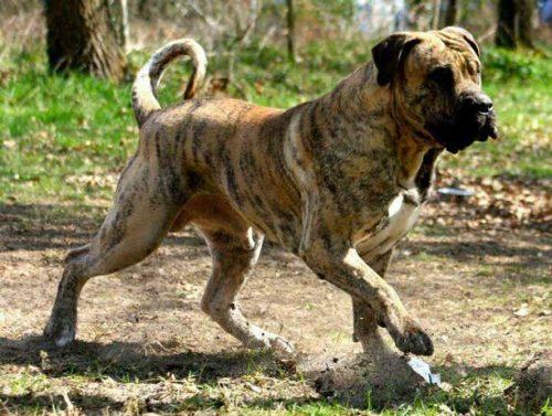 Dogo Canario Dog Bite Force