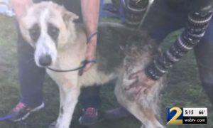 German Shepherd Rescued Georgia