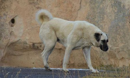 Kangal Shepherd Dog Walking Rock
