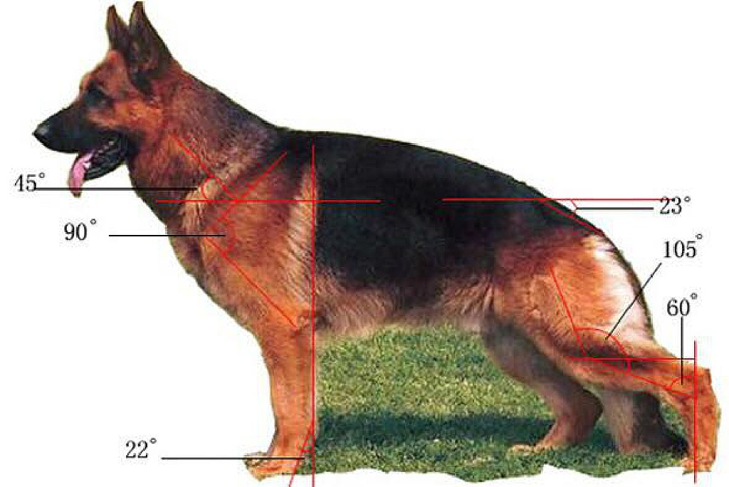 German Shepherd structure of the Body